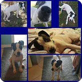 Pointer Mix Puppy for adoption in Tampa, Florida - Bonnie
