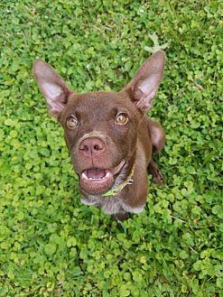 Labrador Retriever/Terrier (Unknown Type, Medium) Mix Dog for adoption in Enfield, Connecticut - Junie B