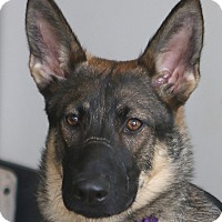 German Shepherd Dog Puppy for adoption in Berkeley, California - Shilah