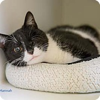 Adopt A Pet :: Hannah - Merrifield, VA