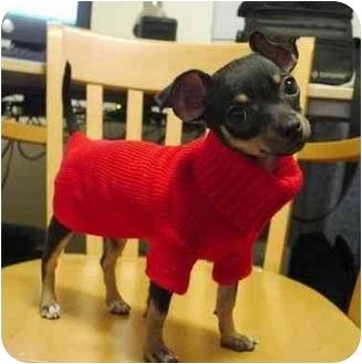 Chihuahua Dog for adoption in SCOTTSDALE, Arizona - Chica