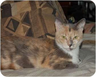 British Shorthair Cat for adoption in Chula Vista, California - Molly Mae McButter