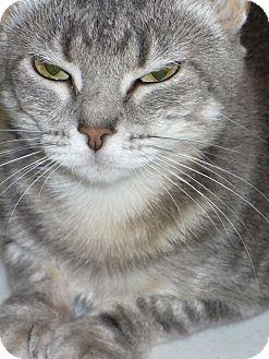 Domestic Shorthair Cat for adoption in Bentonville, Arkansas - Mindy