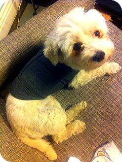 Maltese Mix Dog for adoption in Mission Viejo, California - MASON