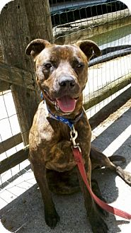 Pit Bull Terrier Mix Dog for adoption in New York, New York - Tiger