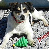 Rat Terrier Mix Dog for adoption in Lawrenceburg, Tennessee - Domino