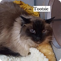 Ragdoll Cat for adoption in Lakewood, Colorado - Tootsie