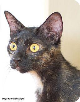 Domestic Shorthair Cat for adoption in Marietta, Georgia - Galaxy