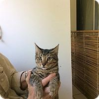 Adopt A Pet :: Kitten - Laguna Woods, CA