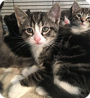 Domestic Shorthair Kitten for adoption in Wayne, New Jersey - Rowan