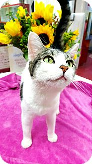 Domestic Shorthair Cat for adoption in yuba city, California - Patches