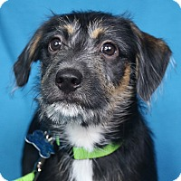 Adopt A Pet :: Kody - Minneapolis, MN