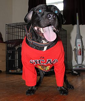 Staffordshire Bull Terrier Dog for adoption in Chicago, Illinois - Axil