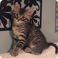 Adopt A Pet :: Juliette(bonded to Romeo) - Richmond Hill, ON