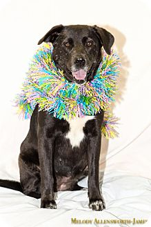 Labrador Retriever Mix Dog for adoption in Little Rock, Arkansas - Marvel