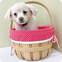 Chihuahua Mix Puppy for adoption in Sacramento, California - Willow