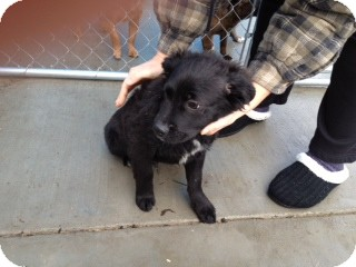 Border Collie Mix Puppy for adoption in Seattle, Washington - Brady
