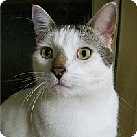 Adopt A Pet :: Snowball - Plainville, MA