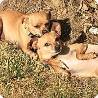 Adopt A Pet :: Evie - Woodland, CA