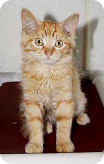 Domestic Mediumhair Kitten for adoption in Grinnell, Iowa - Naranja