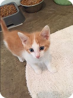 Domestic Shorthair Kitten for adoption in Ashland, Ohio - Timone