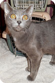 Russian Blue Cat for adoption in Chattanooga, Tennessee - Anastasia