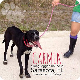 Coonhound/Coonhound (Unknown Type) Mix Dog for adoption in Sarasota, Florida - Carmen