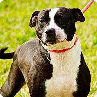 Adopt A Pet :: Tulip - San Jose, CA
