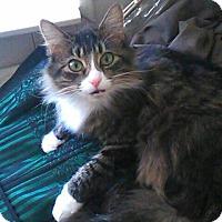 Adopt A Pet :: Mittens - Speedway, IN