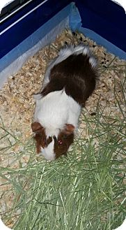 Guinea Pig for adoption in Bridgewater, New Jersey - WINTER