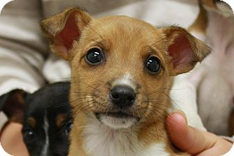 Jack Russell Terrier Mix Puppy for adoption in Jackson, Michigan - Francis- adopted