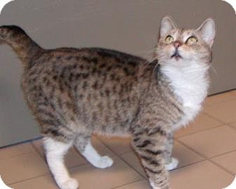 Domestic Shorthair Cat for adoption in Jackson, Michigan - Pretty Kitty