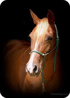 Arabian/Quarterhorse Mix for adoption in Nicholasville, Kentucky - Ruby