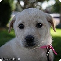 Adopt A Pet :: Pitter - Broomfield, CO