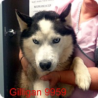 Adopt A Pet :: Gilligan - Greencastle, NC
