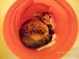 Calico Cat for adoption in Live Oak, Florida - Stinker