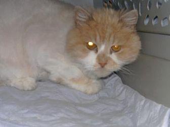 Persian Cat for adoption in Sparta, Wisconsin - Tigger