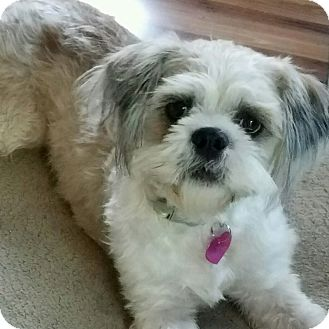 Shih Tzu Mix Dog for adoption in Minneapolis, Minnesota - Cassidy