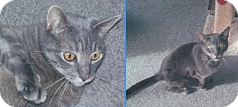 Domestic Shorthair Cat for adoption in Colmar, Pennsylvania - Jesse and Wyatt