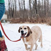 Weimaraner/Bloodhound Mix Dog for adoption in Brunswick, Maine - BOOMER