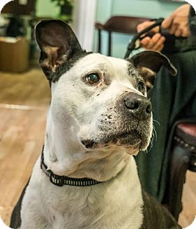 Pit Bull Terrier Mix Dog for adoption in San Francisco, California - Shy