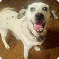 Adopt A Pet :: DOLLY - pasadena, CA