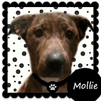 Adopt A Pet :: Mollie-ADOPTION PENDING - Des Moines, IA