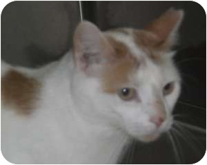 Turkish Van Cat for adoption in Stafford, Virginia - Ringo