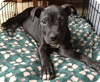 Boxer/American Staffordshire Terrier Mix Puppy for adoption in Atlanta, Georgia - Darcy