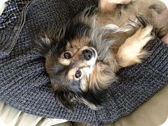 Pomeranian Mix Dog for adoption in Sheridan, Oregon - Sparkle