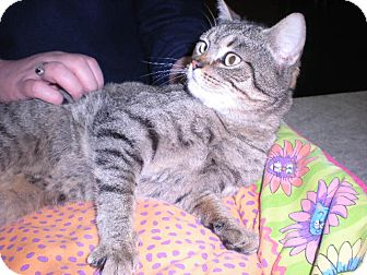 "Persian Cat for adoption in New Castle, Pennsylvania - "" Ambrosia """
