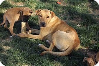 Labrador Retriever/Carolina Dog Mix Dog for adoption in Phoenix, Arizona - Josie