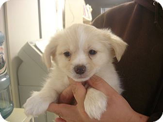 Pekingese/Pomeranian Mix Puppy for adoption in Greencastle, North Carolina - Socks