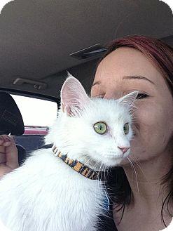Domestic Longhair Cat for adoption in Edmond, Oklahoma - Edith